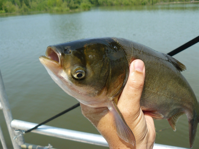 New Research Advances Efforts to Combat Invasive Silver Carp