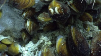 Mussels appear to be encased in methane hydrate, formed by methane gas conglomerating at their base.